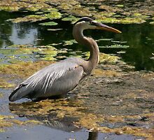 Blue Heron by TLWhite