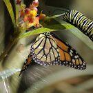 Milkweed and Monarchs by Donna Adamski