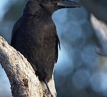 Pied Currawong by Phoenix-Appeal