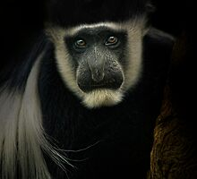 Colobus by Natalie Manuel
