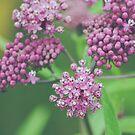 Milkweed Blooms by Bethany Helzer