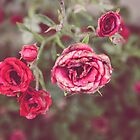Late Summer Roses by Bethany Helzer