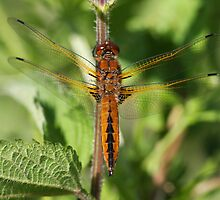 Scarce Chaser female/teneral Libellula fulva by DragonflyHunter