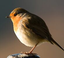 European Robin by Jon Lees