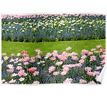 Pink Foxtrot tulips with blue flowers Poster