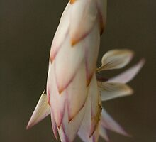 Hoode Lily 4 by Philip Cannon