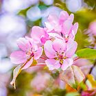 Pink Apple Blossom by luckypixel