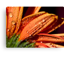 Orange sundrops. Canvas Print