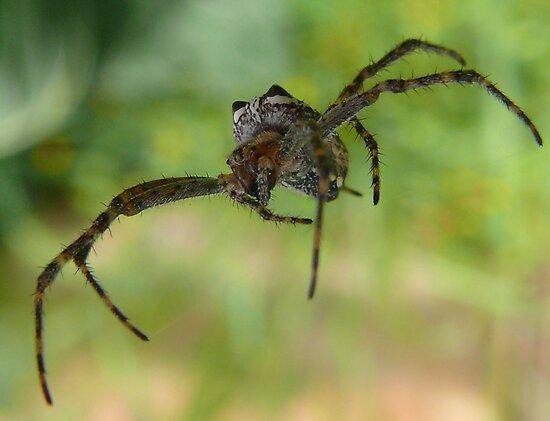 Flying spider by Josie Jackson