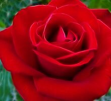 Deep Red Rose by Clintpix