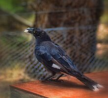 Hungry Currawong by Jennifer Craker