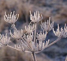 Rather Frosty Cow Parsley  by SpencerCopping