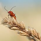 Common Red Soldier Beetle by Stefanie Köppler
