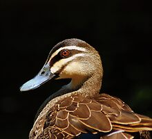 Pacific Black Duck by John Chapman