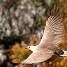 Sea Eagle in flight by bettyb