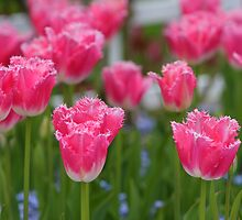 Pink Tulips by Tim Yuan