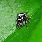 Tiny Jumping Spider by Aaron Murgatroyd