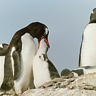Gentoo Feeding by Steve Bulford
