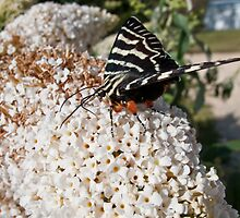 Dingy swallowtail butterfly by RyePixels