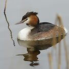 Great Crested Grebe by Taka