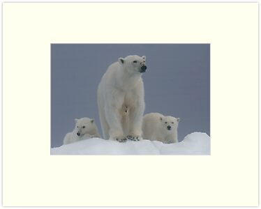 Ice Bears by Steve Bulford