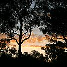 Sunset Through Some Very Tall Gum Trees by Sandra Chung