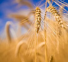 Triticale still standing, January 2009 by dannirowan