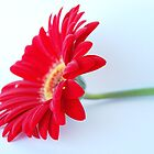Red Gerbera by Kate Wall