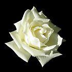 White Rose by Linda More