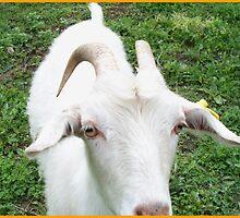 Charming goat by daffodil