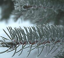 Frosty Needles by Stephen Thomas