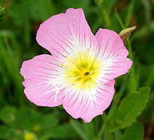 Evening Primrose by Bill Morgenstern
