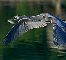 6-12-08 Great Blue Heron by Marvin Collins