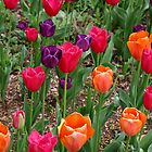 Spring Tulips by LisaM