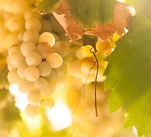 Harvest Time. Sunny Grapes IV by JennyRainbow