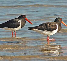 Pied Oyster Catchers, Denham, Western Australia  by Adrian Paul