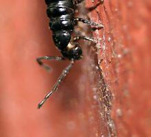 Black Milliipede by Steve Malcomson