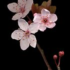 Cherry  Blossom by TheWalkerTouch