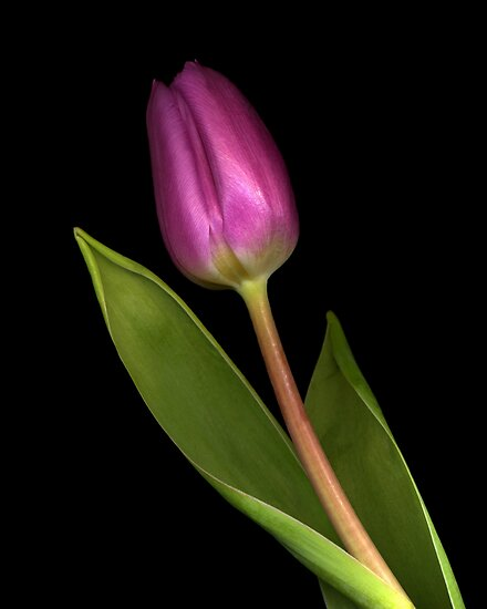 Tulip by TheWalkerTouch