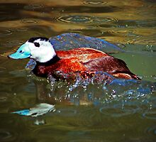 White Headed Duck by Cynthia48