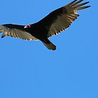 Turkey Vulture by Laurie Puglia