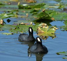 AMERICAN COOTS by Howard & Rebecca Taylor