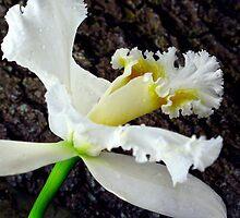 Cattleya Orchid Flower by Landscapes Mainly .