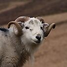 Old Curly - Ram by Simon Pattinson