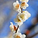 White Japanese Plum Blossom by liyafendi