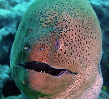 Giant Moray Eel by cooperscuba