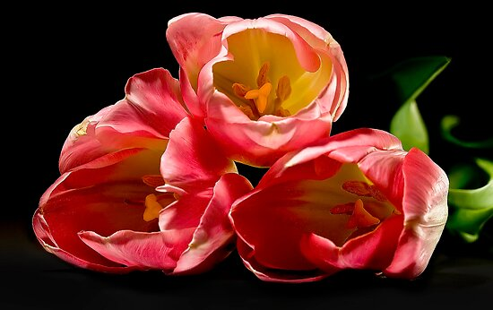 Three Tulips by Katy Breen