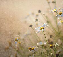 Daisy Dreams by Jacky Parker