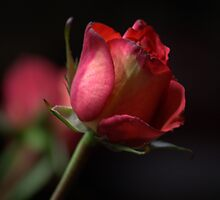 The Red Rose  by ginasphotos