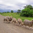 Sheep in the road by Teresa Schultz